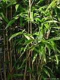 Phyllostachys species